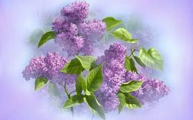 сирень цветет